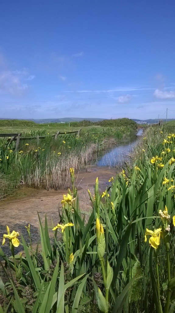 Yellow Irises on the Marshes along the way