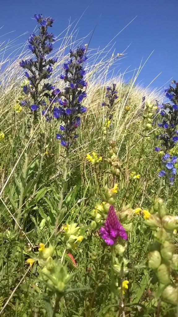 Wild Flowers Galore Braunton Burrows