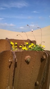 The flowers even grow in the old gun emplacement in the middle of Big Dune